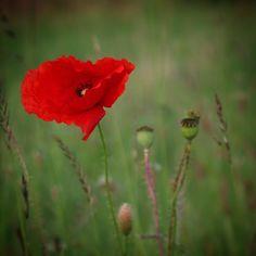 Valmue på en grøftekant #visitdenmark #visitfyn #fyn #nature #nature_perfection #naturelovers #mothernature #natur #denmark #danmark #dänemark #landscape #assensnatur #assens #mitassens #vildmedfyn #fynerfin #vielskernaturen #visitassens #instapic #picoftheday #nofilter #summer2016 #sommer #igdenmark