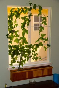 Indoor window box with Passion Flower vine.