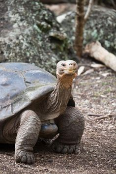 Are you thinking of buying a tortoise to keep? Tortoise pet care takes some planning if you want to be. Baby Tortoise, Sulcata Tortoise, Tortoise Care, Giant Tortoise, Tortoise Turtle, Reptiles And Amphibians, Mammals, Tortoise Pictures, Russian Tortoise
