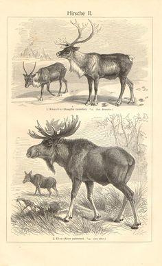 1908 deer cerf américain commun Muntjac par CabinetOfTreasures