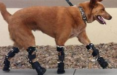 dog walking on prosthetic legs, this is soul touching. i cried. the will of a being to strive and be alive.