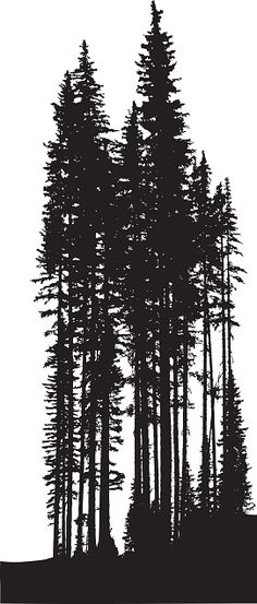 Tall Pine Trees