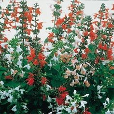 'Hummingbird Mix' salvia - Flowers are brilliant mix of red, salmon, and white.