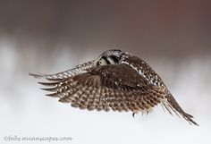 Hawk Owl by *FForns on deviantART