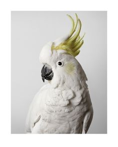 'Slim' by Leila Jeffreys #cockatoo, #yellow #white #bird #portrait