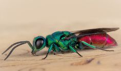 Ruby-tailed wasp | by robert.vierthaler