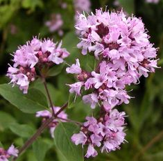 Information about the Oregano including its habitat, latin name, description, medicinal actions and uses. Learn about the health benefits of Oregano.