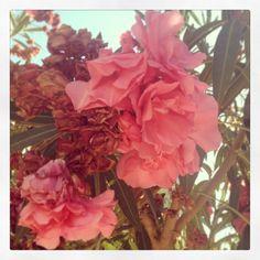 Blommor från Kreta