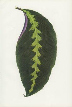 Vintage Leaf Print, Warscewick's Arrowroot, African Arrowroot, Canna Indian Shot, Botanical Book Plates 24/25, Benjamin Fawcett, Woodblock