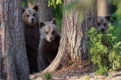 Brown Bear Cubs, Suomussalmi
