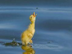 黄色いトリかわいい