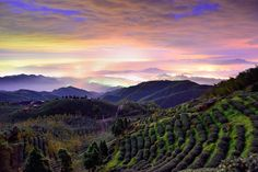 Tea field 大崙山茶園