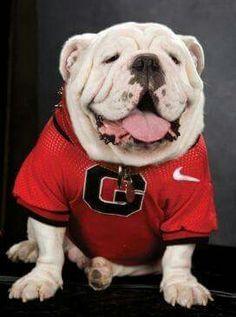 Georgia Bulldogs mascot Uga VII poses for a photo. Georgia Bulldogs Football, Sec Football, College Football Teams, Sports Teams, Georgia Girls, Team Mascots, Funny Bulldog, Bulldog Puppies, Bulldog Mascot