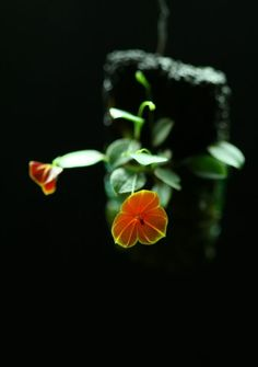 Lepanthes telipogoniflora - Orchid Board - Most Complete Orchid Forum on the web !