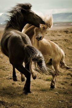 Icelandic Horses at Play