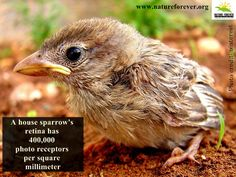 A very interesting fact about our lovely sparrows