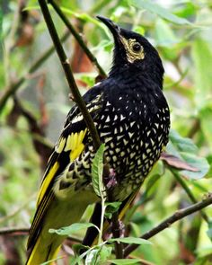 Regent Honeyeater--Tim Williams