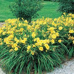 Stella de Oro DWARF DAYLILY - Deep golden yellow. Add a touch of elegance with award-winning reblooming daylilies! Their large, radiant flowers grace dwarf-size plants, which makes them very versatile. Use as a ground cover, along borders or as an accent plant. Although the blooms last a single day, they keep coming for weeks every summer.