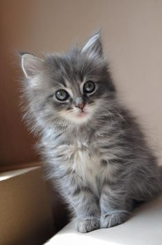 Best of Tabby Cats pictures: Grey Tabby Kittens, Grey Kitten, Fluffy Kittens, Cute Baby Cats, Kittens And Puppies, Grey Cats, Cute Little Animals, Cute Cats And Kittens, Cute Funny Animals