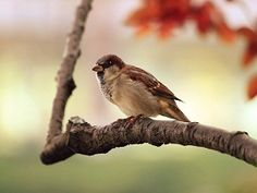 Sparrow pictures are also very cool pictures and of smart nature.Sparrow pictures can be use as wallpapers and many other purpose Bird Wallpaper, Nature Wallpaper, Macbook Wallpaper, Computer Wallpaper, Mobile Wallpaper, Relaxing Harp Music, Calming Music, Sparrow Bird, Bird On Branch