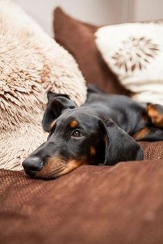 Dachshund by candice