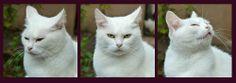 faces white cat