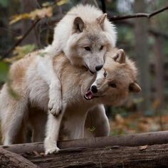 Wolves...playtime!