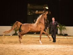 Sttardom :: Argent Farms LLC :: Distinctive Arabian Horses