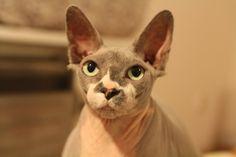 sphynx cats 49/51 | Zonerama.com