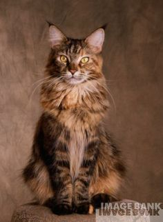 Maine Coon.... ALMOST cuter than Peelow....but not quite