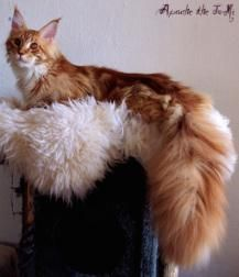 Typvolle Main Coon Kitten aus exc. Verpaarung!! http://www.mainecoonguide.com/male-vs-female-maine-coons/