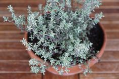 4 Reasons Thyme Is An Herb For Winter Health ndash Herbal Academy This herb tucked away in your kitchen may have more uses than you think! Thyme is an herb for winter health. Herpes Cure, Healing Herbs, Medicinal Plants, Evergreen Herbs, Thyme Plant, Easy Herbs To Grow, Herpes Remedies, Growing Herbs Indoors, Yerba Mate
