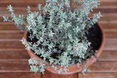 Najmocnejšia bylinka proti stresu, herpesu, candide a chrípkovému vírusu
