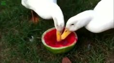 Animals Eating Watermelon Compilation - Cute Videos