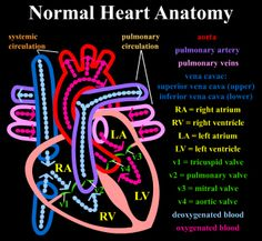 A colorful representation of a normal heart. Tricuspid Valve, Mitral Valve, Heart Anatomy, Normal Heart, Anatomical Heart, Anatomy And Physiology, Teaching Kids, Nursing, Neon Signs