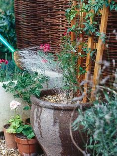 Watering Gravel-Filled Garden Pots Holding Climber Plant