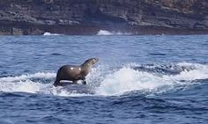 Australian photographer, Robyn Malcolm, has captured this incredible photo of a fur seal hitching a ride on the back of a humpback whale off the coast of Eden in southern New South Wales. Malcolm was on a whale-watching trip when the boat came. Strange Photos, Rare Photos, Funny Photos, Ohh Deer, Humpback Whale, Surfs, Whale Watching, Sea Creatures, Whales
