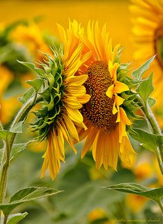 Sunflowers in Tuscany, Italy...Kissing