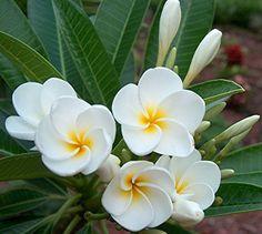 Plumeria 'Dwarf Singapore White' / Plumeria obtusa