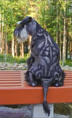 Unique Schnauzer haircut