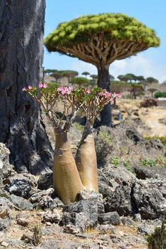 The Dracena cinnabari tree in Socotra among forest of Firmin and Dixsam plateau. Photos of Dracena cinnabari. Desert Rose Plant, Desert Flowers, Desert Plants, Weird Plants, Unusual Plants, Rare Plants, Trees And Shrubs, Trees To Plant, Dragon Blood Tree
