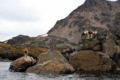 Dogs in Kulusuk, East Greenland
