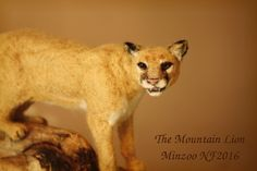 Posts about mountain lion sculpture written by minzooneedlefelting Needle Felted Animals, Felt Animals, Needle Felting, Animal Sculptures, Lion Sculpture, National Art Museum, Baby Animals Pictures, Andalusian Horse, Horse Portrait