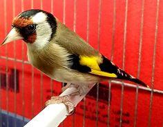 Très Charmant le Chardonneret 😘 الحسون فائق الجمال https://www.youtube.com/+bilelseg https://www.facebook.com/ChardonneretBilelKios/ https://www.instagram.com/bilelkios/ #الحسون #المقنين #القرديل #Chardonnerert #Canari #Mulet #MuletOiseau #Oiseau #Birds #Animaux #Goldfinch #Jilguero #Cardellino #καρδερίνα #Sakakuşu #Chien #Chat #Pigeon #Cheval #Science #Reptile #Poisson #Plantes #Hibiscus #Alger #Algérie #Tunisie #Maroc #ChardonneretGolden #BilelKios