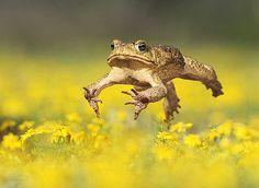 Cane Toad - Rolf Nussbaumer