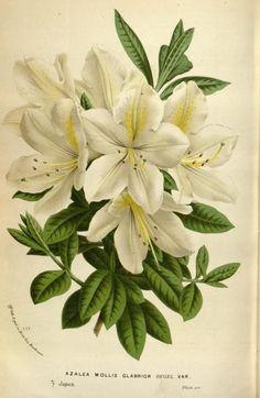v.19 ([1873]) - Flore des serres et des jardins de l'Europe - Biodiversity Heritage Library 595 x 914