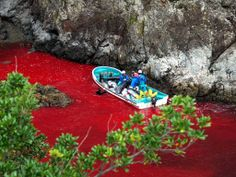 Taiji Cove dolphins: Japanese government defends 'lawful' slaughter as hunters prepare to kill 200 animals