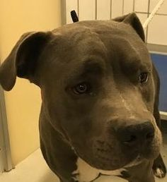 Animal ID\t37614747 \r\nSpecies\tDog \r\nBreed\tTerrier, Pit Bull\/Mix \r\nAge\t2 years 1 day \r\nGender\tMale \r\nSize\tMedium \r\nColor\tBlue\/White \r\nSite\tDepartment of Animal Services, City of El Paso \r\nLocation\tKennel C \r\nIntake Date\t1\/15\/2018