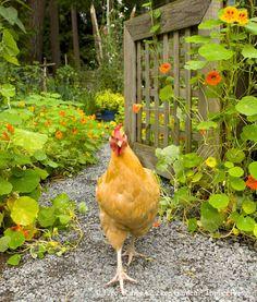 Chicken in the garden.