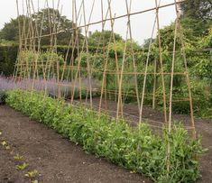 Growing a row of sweet peas Growing Green Beans, Growing Sweet Peas, Growing Greens, Flower Trellis, Cut Flower Garden, Flower Gardening, Flower Farm, Sweet Pea Flowers, Cut Flowers